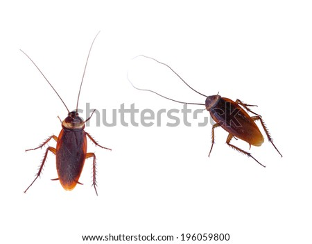 cockroach carrier pathogens isolated on white  - stock photo