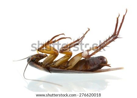 cockroach die on white background.