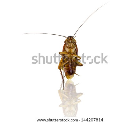 cockroach is insect at to see most frequently in the home - stock photo