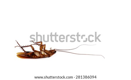 Cockroach isolate on white