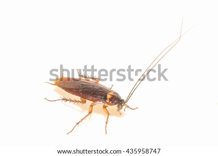 Cockroach  isolate on white background.