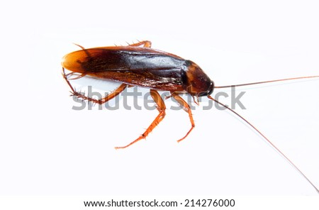 cockroach isolated on white - stock photo