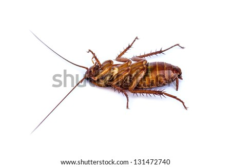 cockroach isolated on white background - stock photo