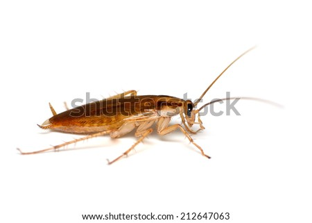 Cockroach isolated on white. Taken from side.