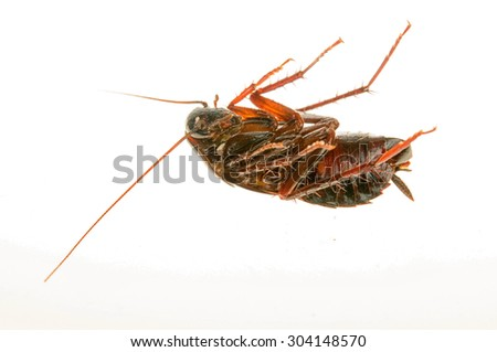Cockroach isolated white background