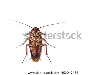 Cockroach on  isolated white background