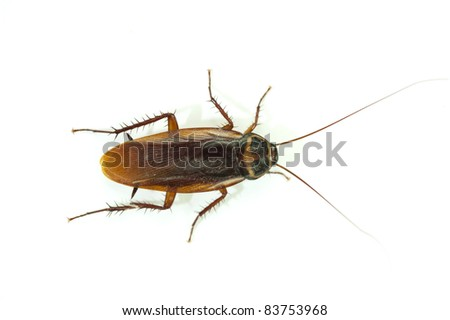 cockroach on white background.
