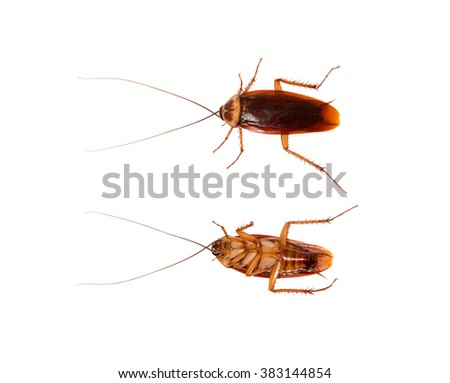 cockroach top and under view isolate on white background
