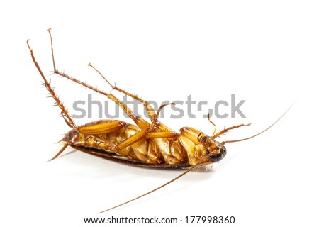 cockroach turn face up on white background (isolated)