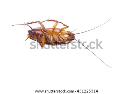 Cockroaches isolate on white background.Cockroaches as carriers of disease. Cockroaches brown