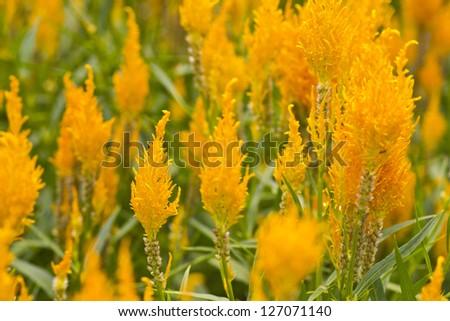 Cockscomb flower in garden selective focus - stock photo