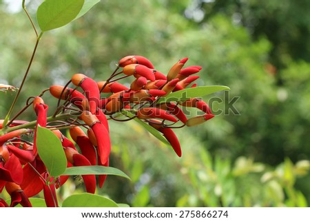 cockspur coral tree blooming(Erythrina crista-galli)