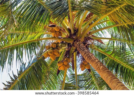 coco on coconut tree palm - stock photo