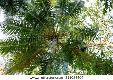 coco-palm tree against blue sky, Indonesia Bali, with blue sky