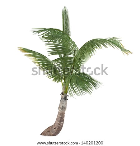 Coco palm tree isolated. Cocos nucifera