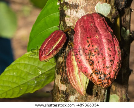 cocoa or cacao pods on the tree