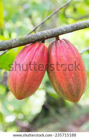Cocoa pod on the tree - stock photo