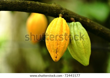 Cocoa pods - stock photo