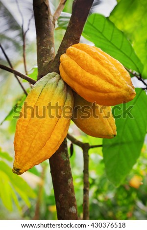 Cocoa tree with pods, Bali island, Indonesia - stock photo