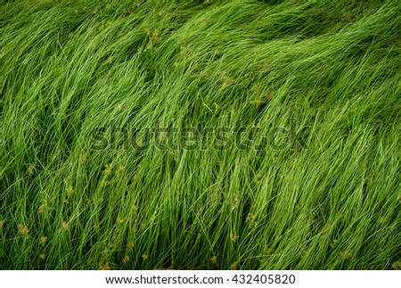Cocograss, close up beautiful green Nut grass pattern from garden - stock photo