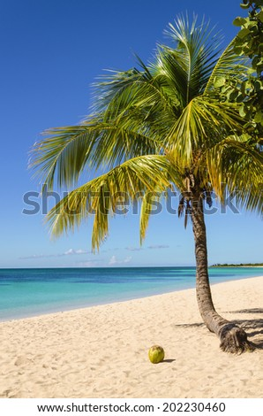 Coconut and palm tree on exotic sandy beach  - stock photo