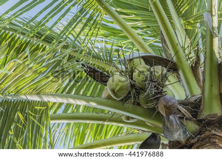 Coconut cluster on coconut tree - stock photo