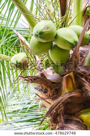 Coconut cluster on coconut tree.