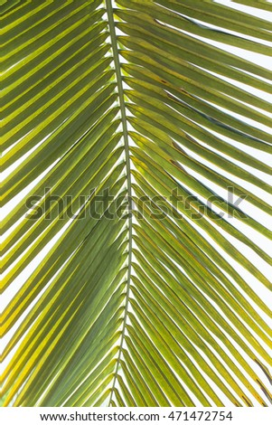 Coconut leaves beautiful