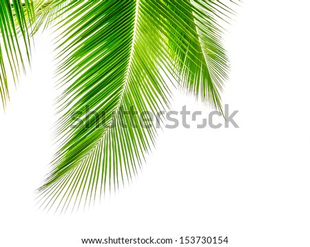 Coconut leaves beautiful markings in white. - stock photo