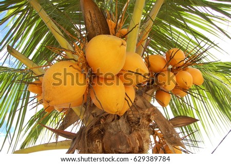 Coconut nut growing on a tree on a sunny day