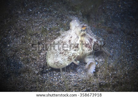 Coconut octopus ate crab on sand background while diving in the Philippines.