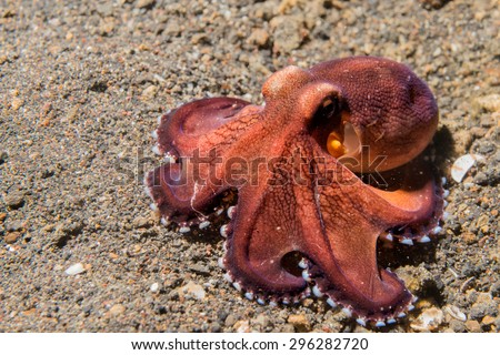 coconut octopus on sand background while diving in Indonesia - stock photo