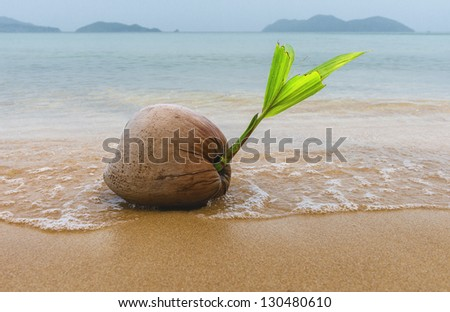 coconut on the edge of the sea
