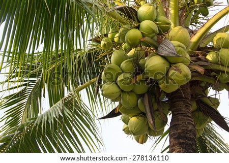Coconut on the palm tree - stock photo