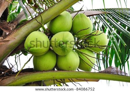 Coconut on tree - stock photo