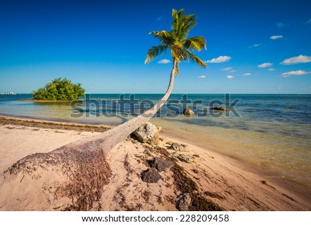 Coconut palm stretches out over the gulf of Mexico in Florida - stock photo