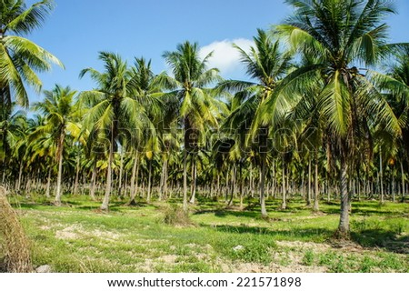 coconut palm tree and blue sky - stock photo