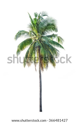 Coconut palm tree, Cocos Nucifera, with green leaves isolated
