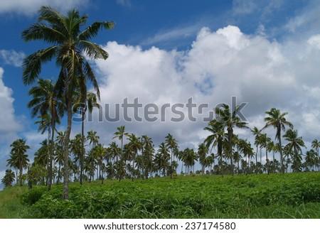 Coconut palm tree farm, Tonga - stock photo