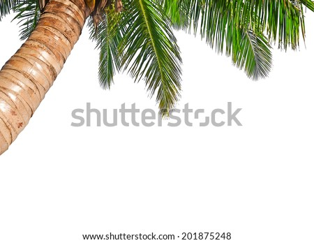 Coconut palm tree isolated on a white background - stock photo