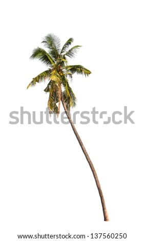 Coconut palm tree isolated on white background - stock photo