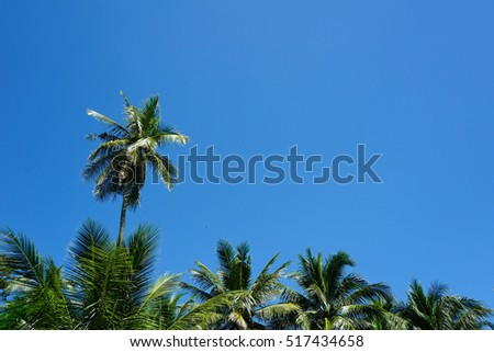 coconut palm tree on blue sky