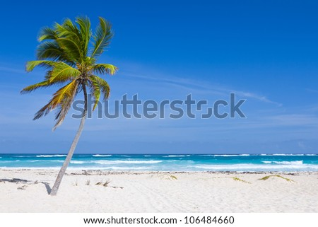 Coconut Palm Tree on the Tropical Beach, Bavaro, Punta Cana, Dominican Republic