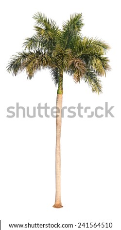 Coconut palm tree on white background  - stock photo