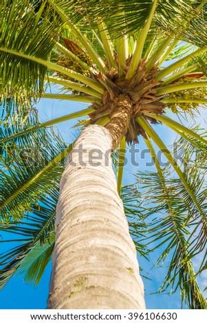 Coconut palm tree typical of tropical beaches. It was taken in the beach of Maragogi, Alagoas, Brazil. - stock photo