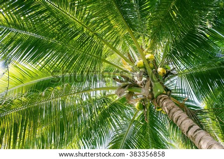 Coconut palm tree with green leaves and young coconuts,  view from below - stock photo