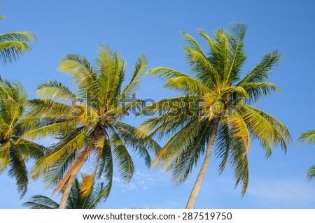 Coconut palm trees - stock photo
