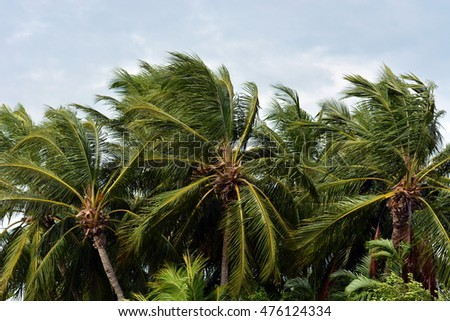 Coconut Palm trees blowing in the strong winds of tropical storm or hurricane, against overcast sky.