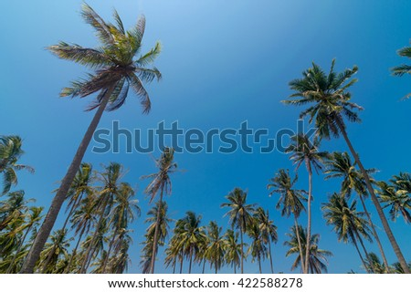 Coconut palm trees gainst blue sky