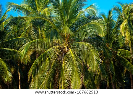 coconut palm trees grow on private farm Islands Sri Lanka.Blue sky day